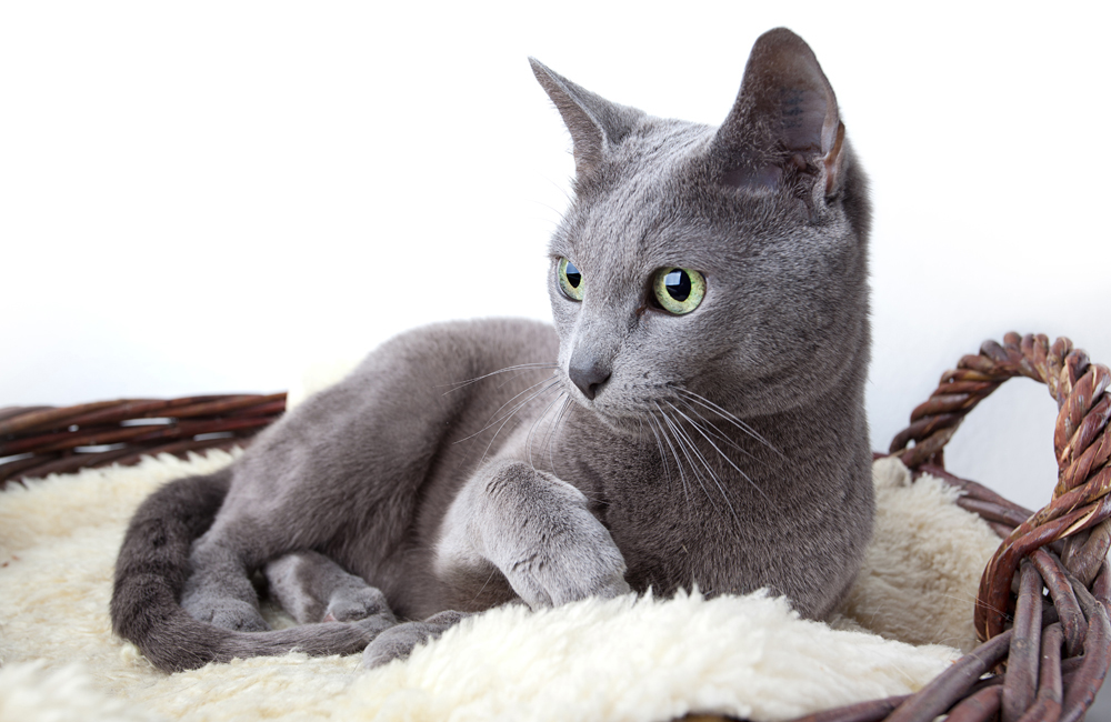 8 raças de gatos nativas da Rússia width=