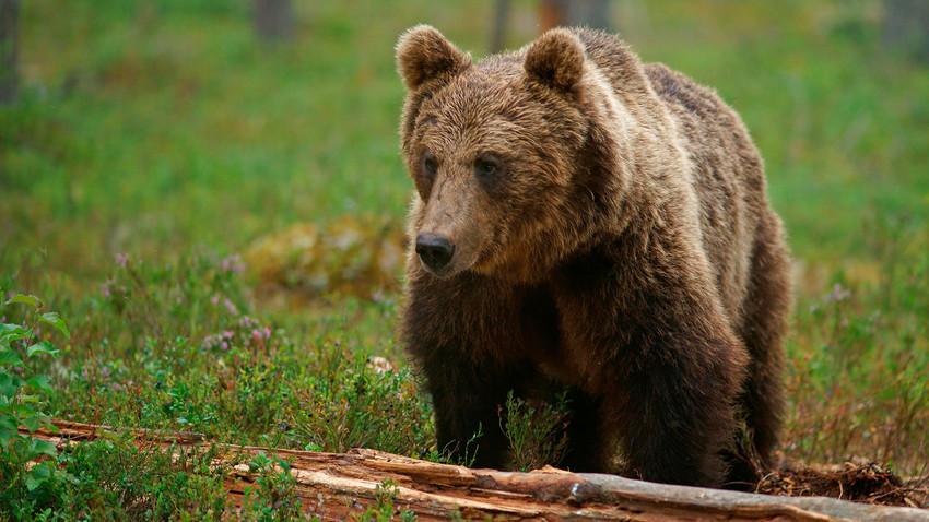 Wenden Sie sich niemals von einem Bären ab!