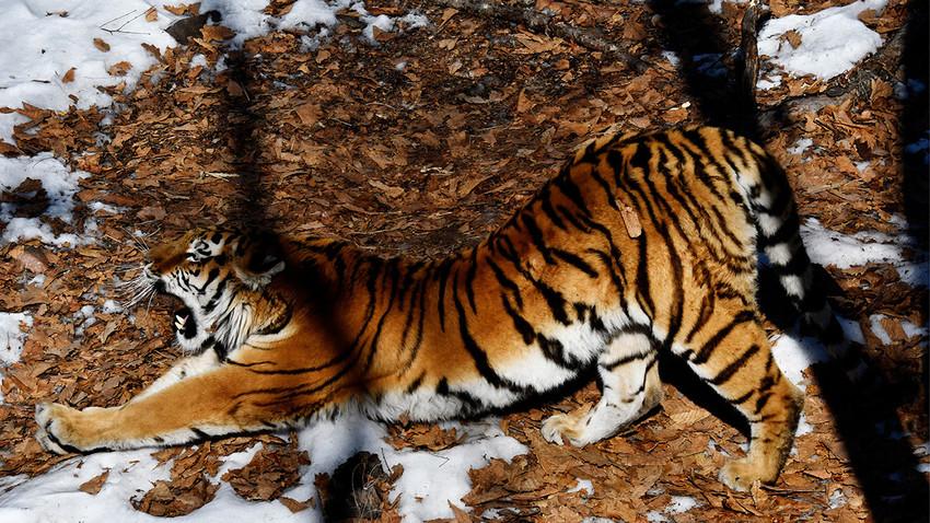 Amurski tigar