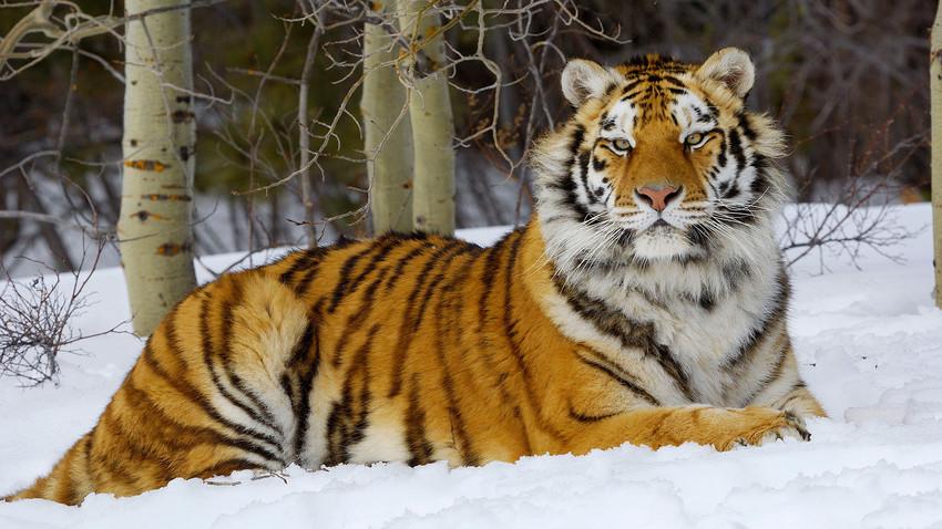 Amur Tiger in winter snow.