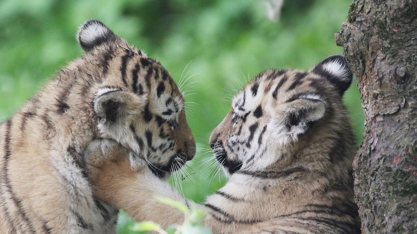 Младунци амурског тигра.