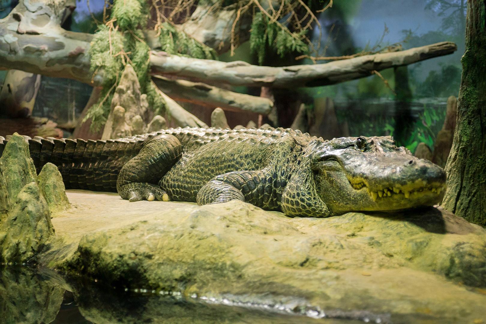 Saturn alligator.