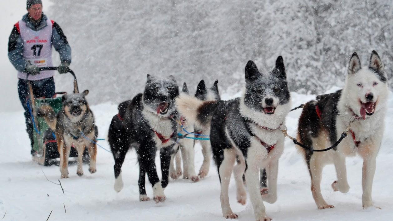 Kereta seluncur anjing husky Siberia.