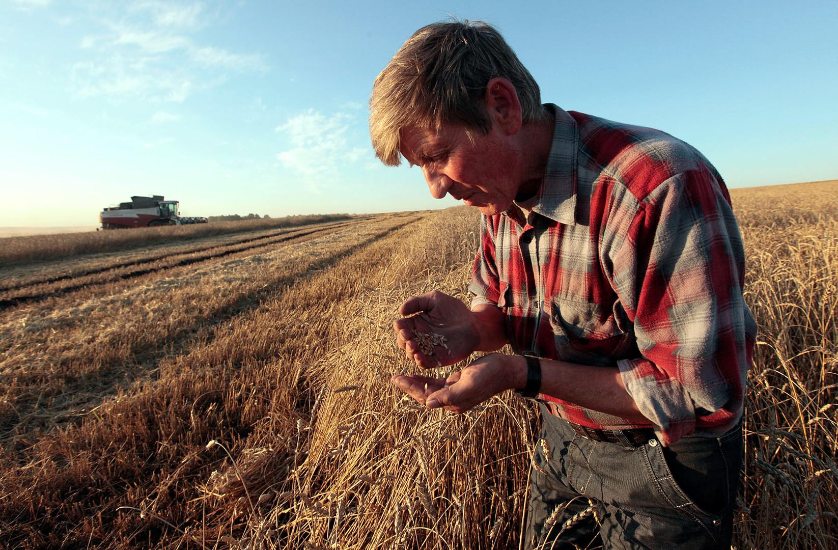 Delavec pregleduje pšenico na polju kmetije Svetlolobovskoje ob robu istoimenske vasi, približno 390 km južno od Krasnojarska.