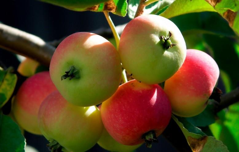 Na Uralu je še posebej priljubljena sorta majhnih jabolk, ki se imenuje ranet.