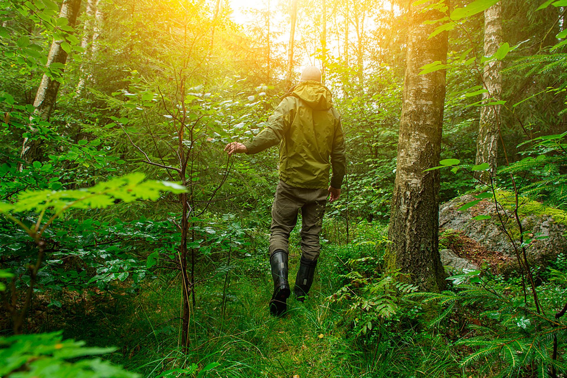 キノコ採取者は大体、朝7~8時頃森に入り、他の人よりも先に採る。