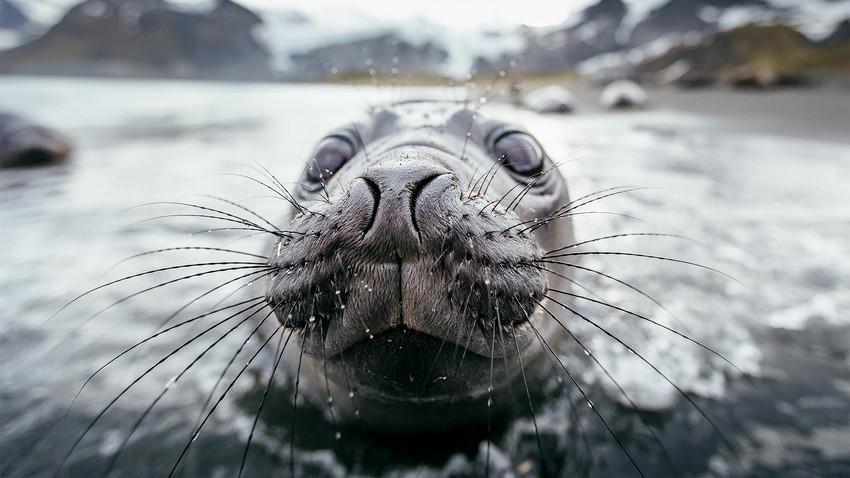 Si penyusup tiba-tiba menemukan penjaga yang tak biasa: seekor anjing laut jantan bernama Barik.