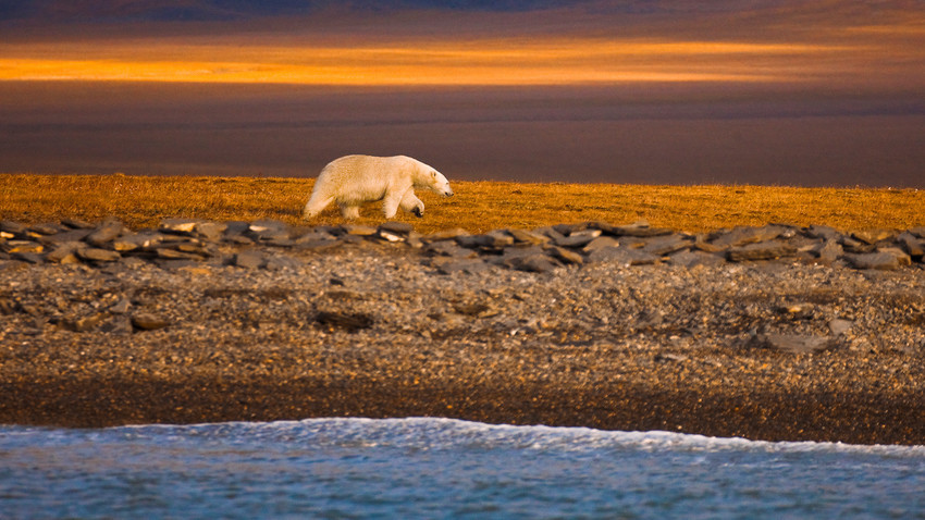A polar bear walks along the shore of Wrangel Island in the Russian High Arctic.