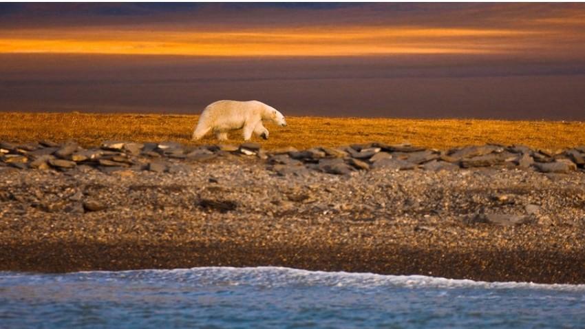 Beli medved se premika vzdolž obale Vragelovega otoka na ruski Arktiki.