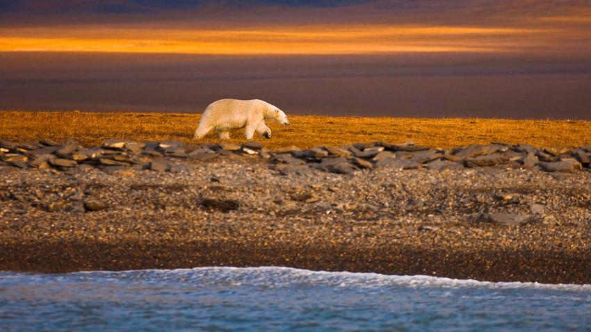 Urso polar passeia pela costa da Ilha de Vrânguel, no Ártico do Norte.