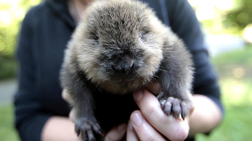 A little beaver.