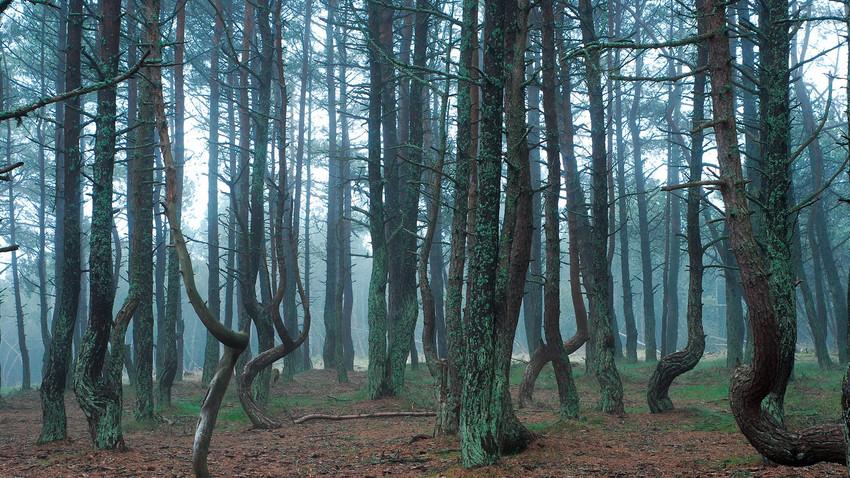 Hutan yang 'menari' di Taman Nasional Kurshskaya Kosa.