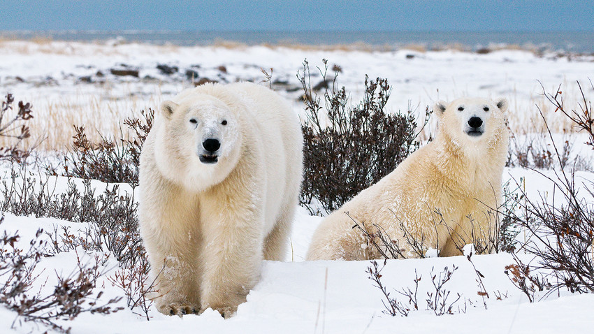 Polar bears besieging a village in Russia's Far East