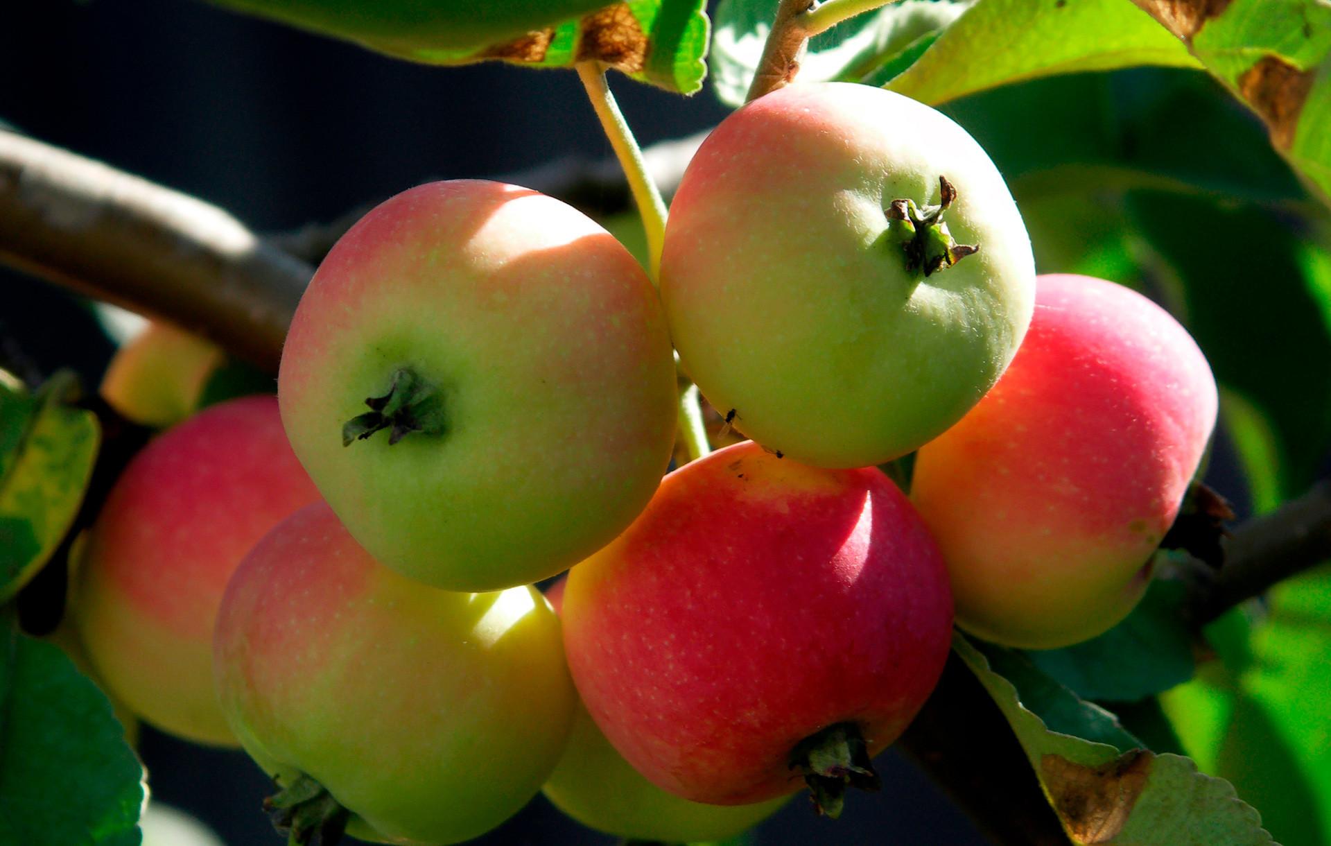 Ranet adalah sejenis apel kecil.
