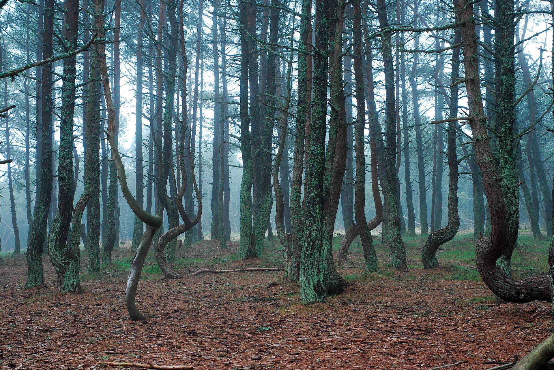 Hutan yang 'menari', Taman Nasional Kurshskaya Kosa.