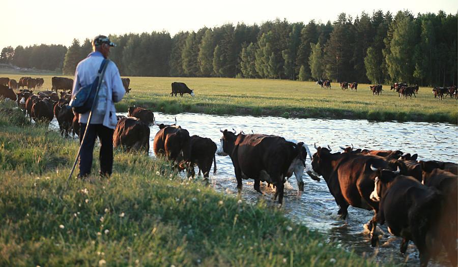 Per produrre un chilo di burro di Vologda sono necessari circa 20-24 litri di latte