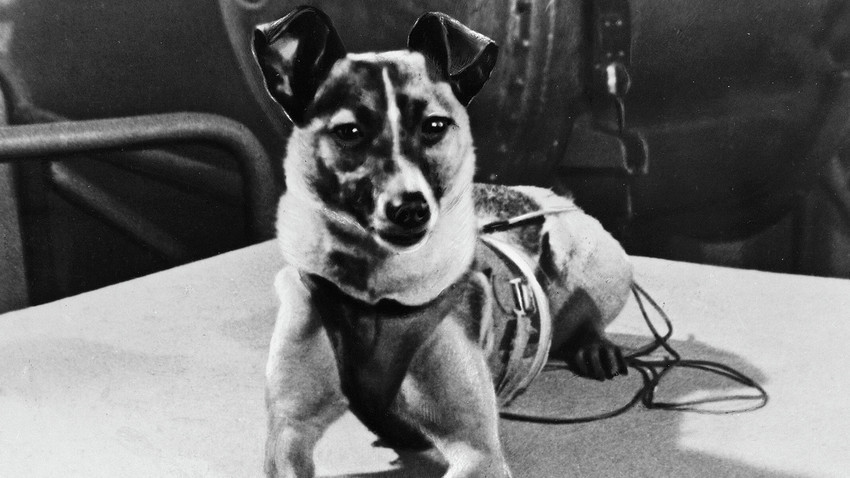 Кучето Лајка пред да биде ставено во кабината на вештачкиот Земјин сателит лансиран на 3 ноември 1957.
