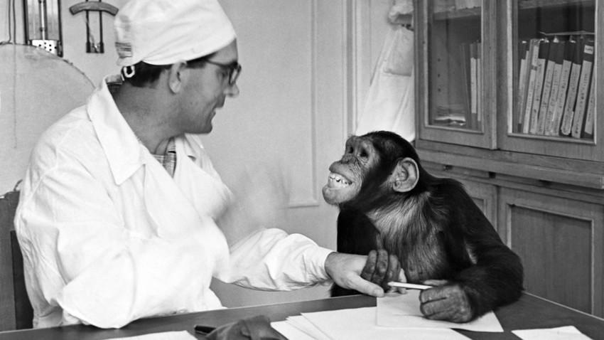 Primeiros geneticistas soviéticos sonhavam em criar um chimpanzé humano que ajudasse a construir uma nova raça.