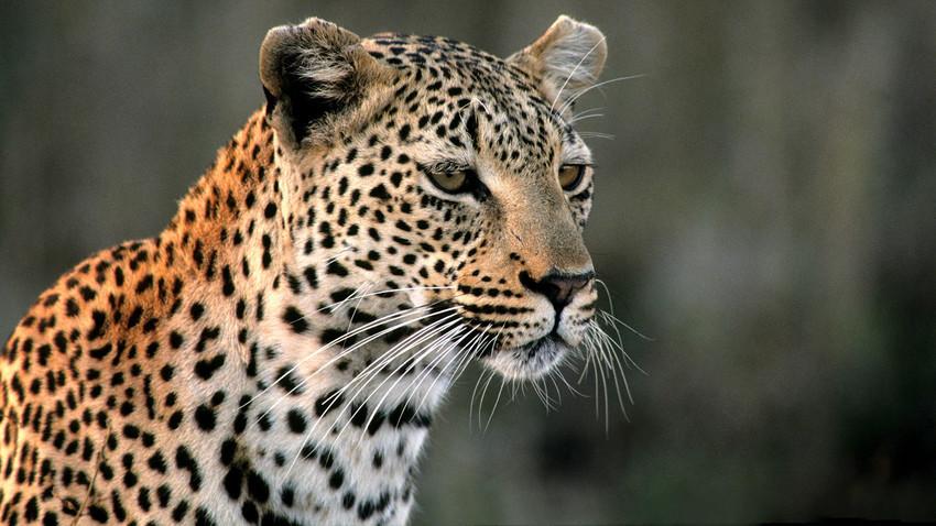 Русин живее со леопард