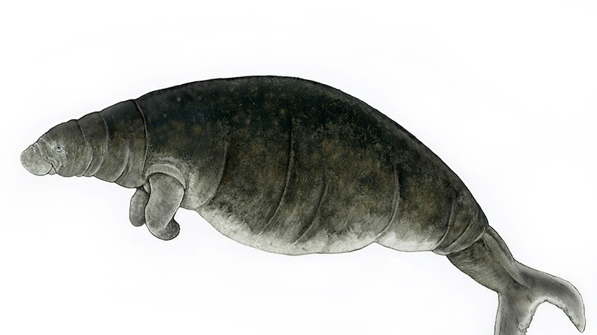The last Steller's sea cow seen in the wild was spotted by fur hunters in 1768.
