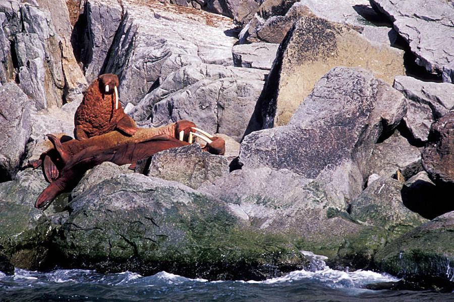 Остров Голям Диомед - моржове