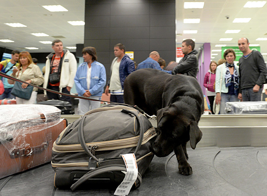 Seekor anjing pelacak mencari zat narkoba di koper penumpang.