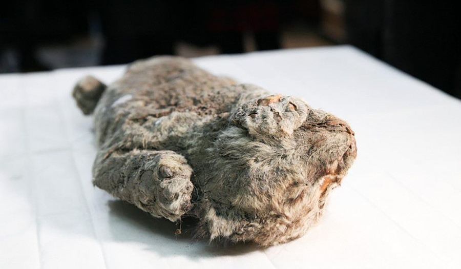 The body of a cave lion cub was discovered by a local resident