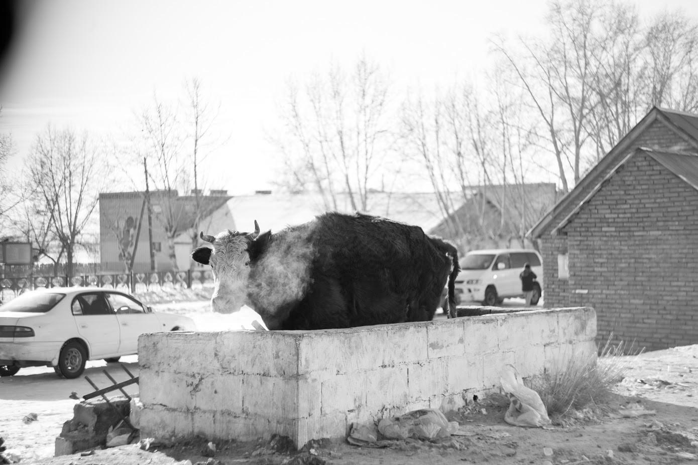 Vasica na rusko-mongolski meji.