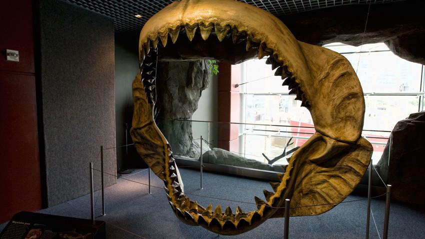Rahang Megalodon dipajang di Akuarium Nasional, di Baltimore, AS.