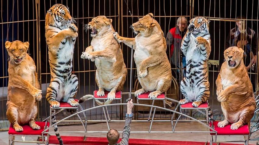 As leoas teriam engordado após o parto, segundo domador.