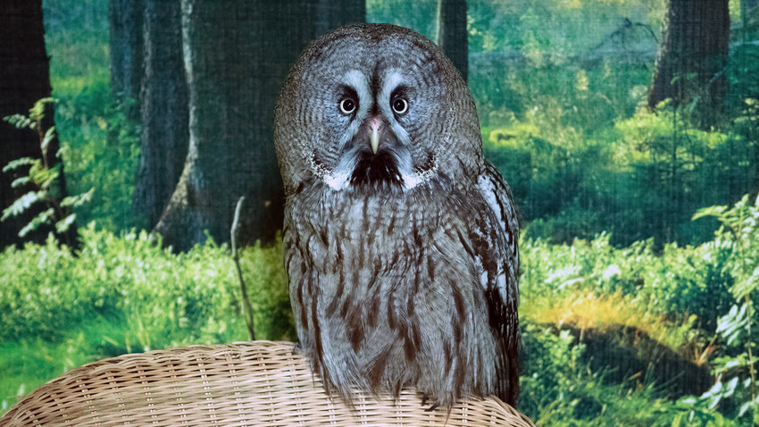 Mira, the youngest and the largest owl.