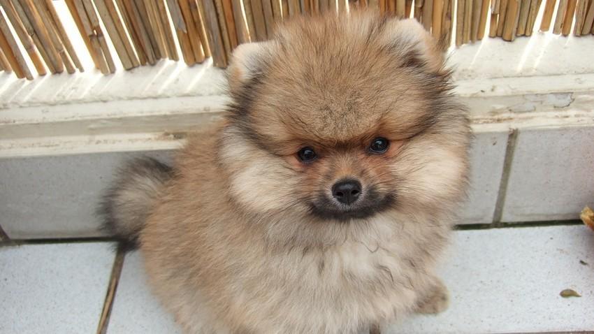 Anjing Pomerania.