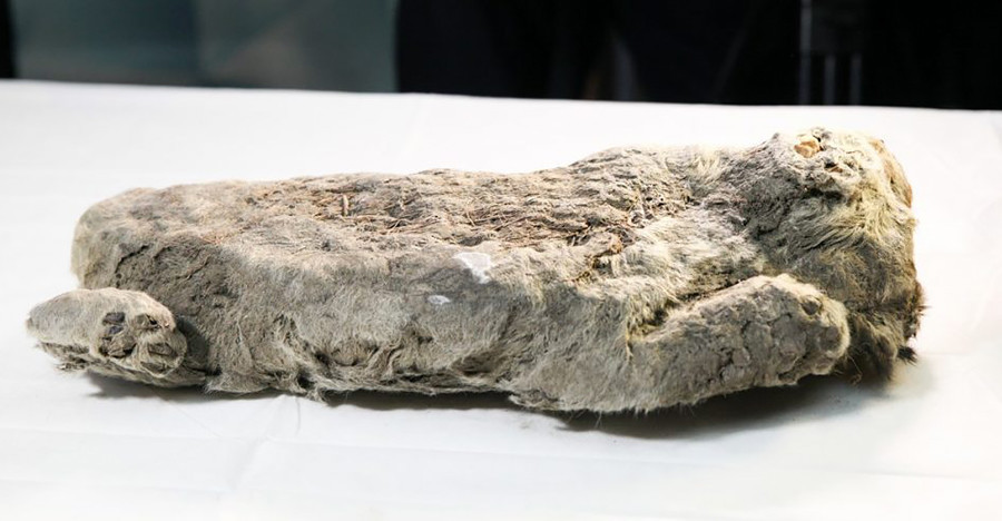 Los tres especímenes conservados en buenas condiciones han sido hallados en la región rusa de Yakutia.
