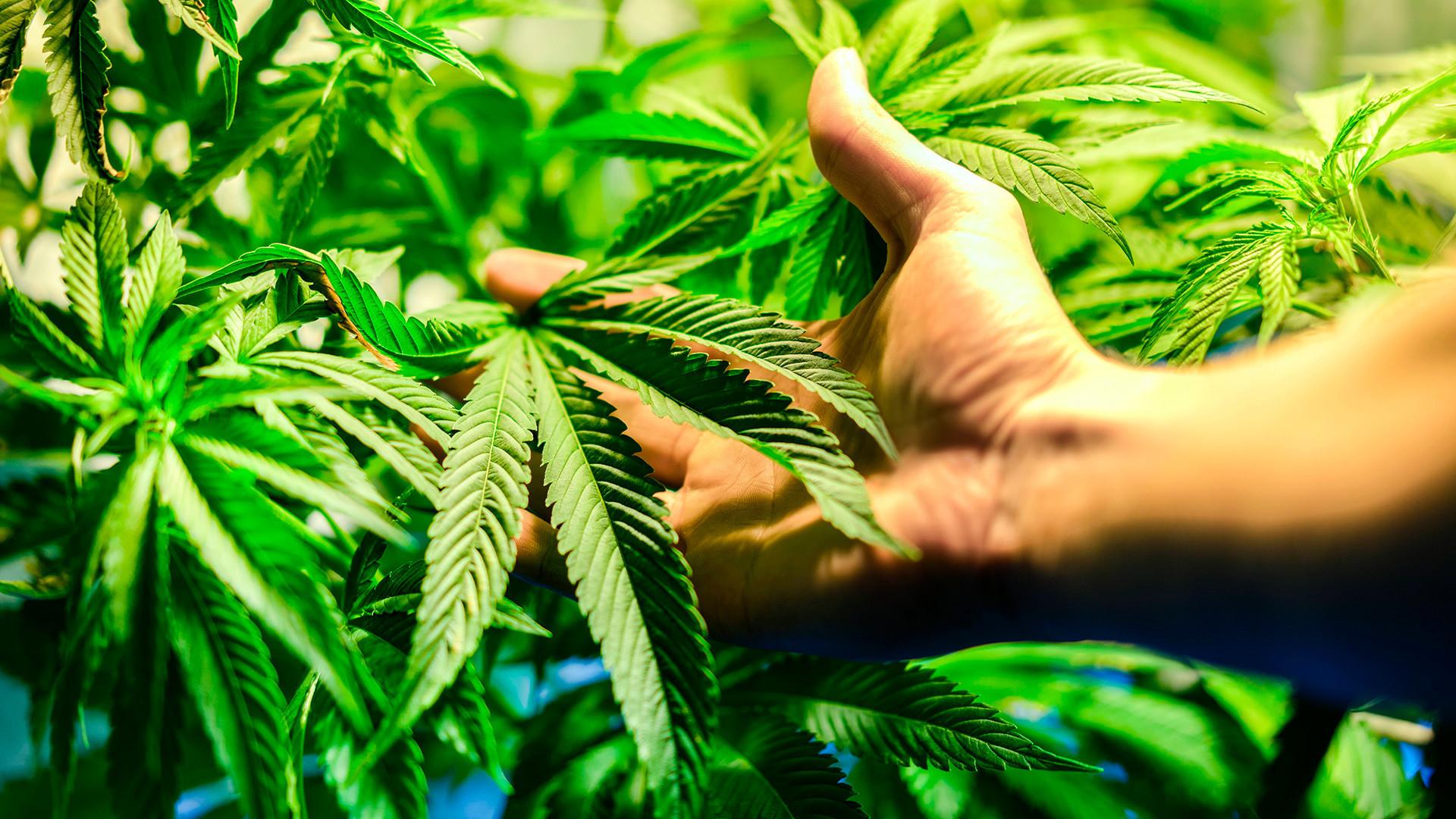 Saat ini, hukum pidana Rusia melarang produksi, transportasi, penyimpanan, dan penggunaan mariyuana