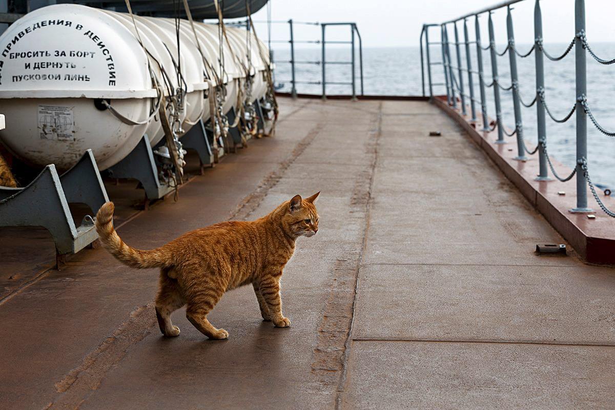 Sergei foi o primeiro gato russo a viajar para Síria a bordo de navio militar