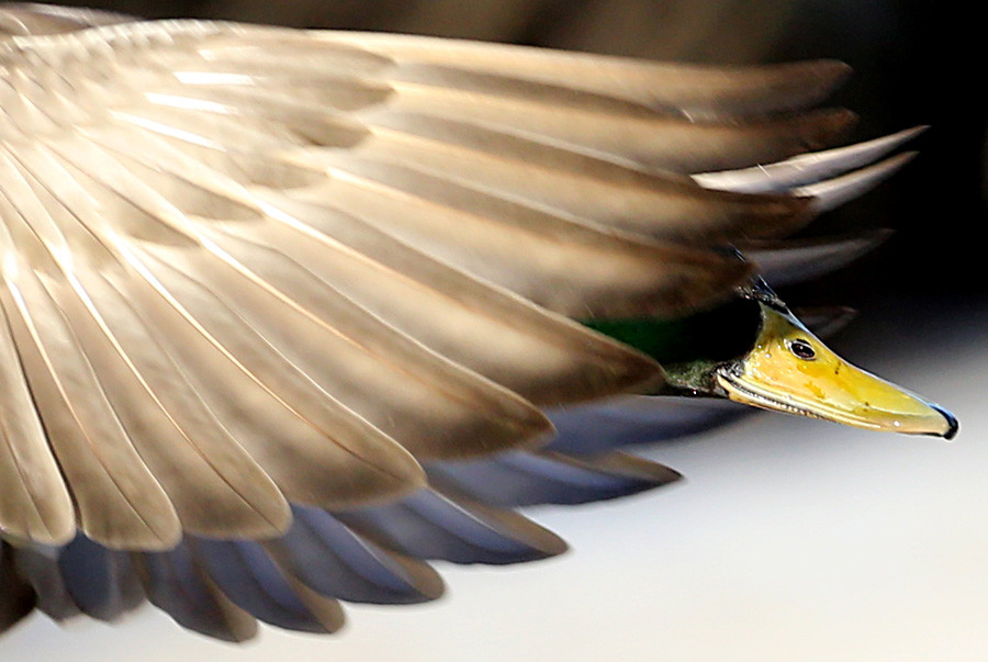 (17) Divja raca je obiskala muzej Petergof. V Sankt Peterburgu zadnja leta prezimi 6.000 ptic, ki so se nehale seliti na jug, saj stalno dobivajo hrano od ljudi.