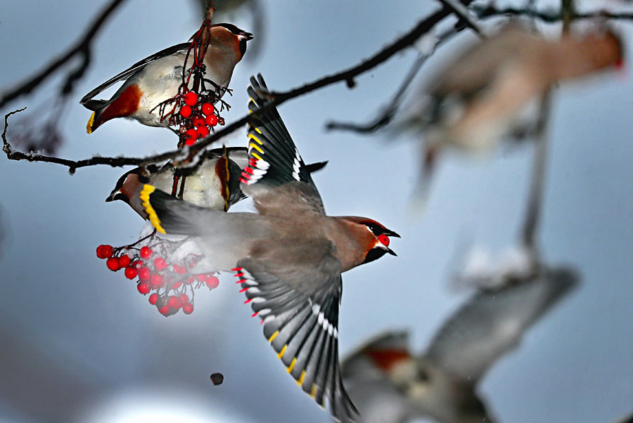 Bohemian waxwings eating rowan berries in Ivanovo Region in winter.