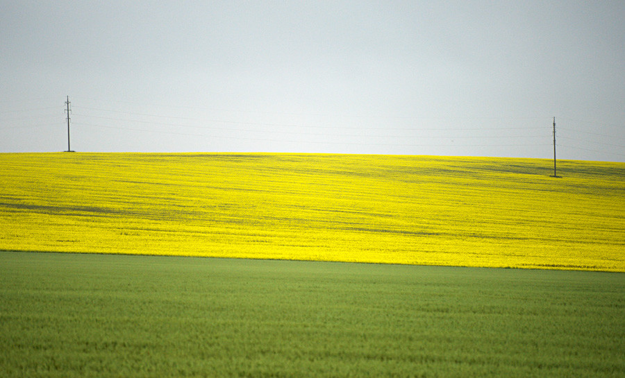 Blossoming fields in Krasnodar Region in summer.
