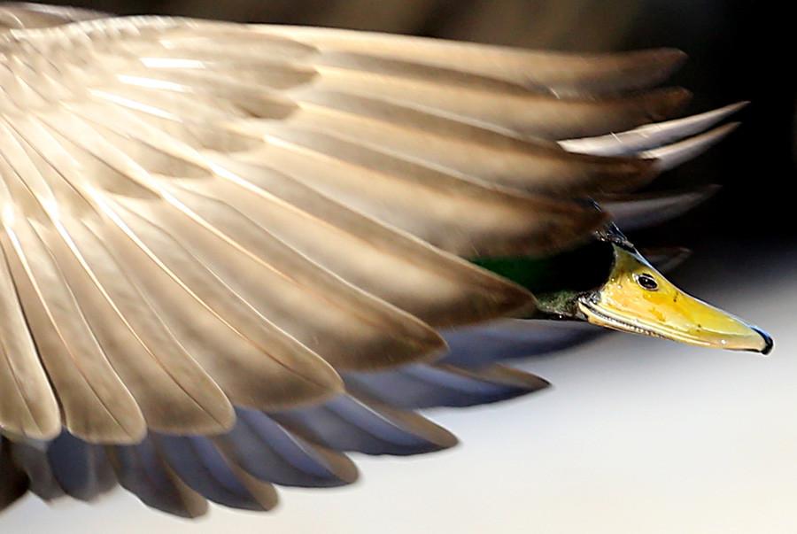 Seekor bebek liar terbang di atas Museum Nasional Peterhof. Selama beberapa tahun terakhir, tak kurang dari 6.000 ekor burung menghabiskan musim dingin di Sankt Peterburg. Mereka berhenti bermigrasi karena telah terbiasa diberi makan oleh penduduk setempat.