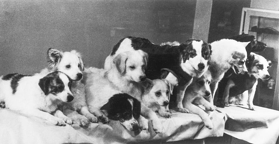 ソ連、モスクワ、1961年3月28日の記者会見。左から右へ:ストレルカの子犬:ディムカ、プシンカ、ダムカ、ティシカ、マリュトカ;ストレルカ;子犬クドリャシカ;ブルカ、チュルヌシカ、ズヴョズドチカ。