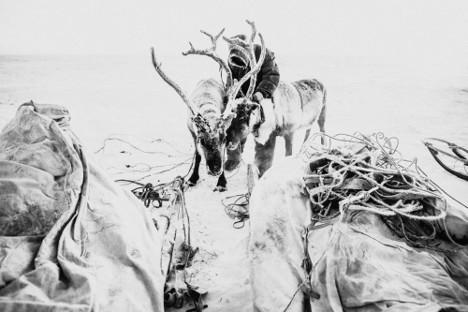 Razdvajanje jelenov, ki sta se zapletla z rogovi