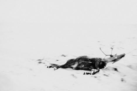 Zadnji dan sezone zakoljejo še zadnje jelene, ki niso hoteli k klavcem. Ubili so jih s puško sredi tundre, šele potem so jih vlekli na saneh.