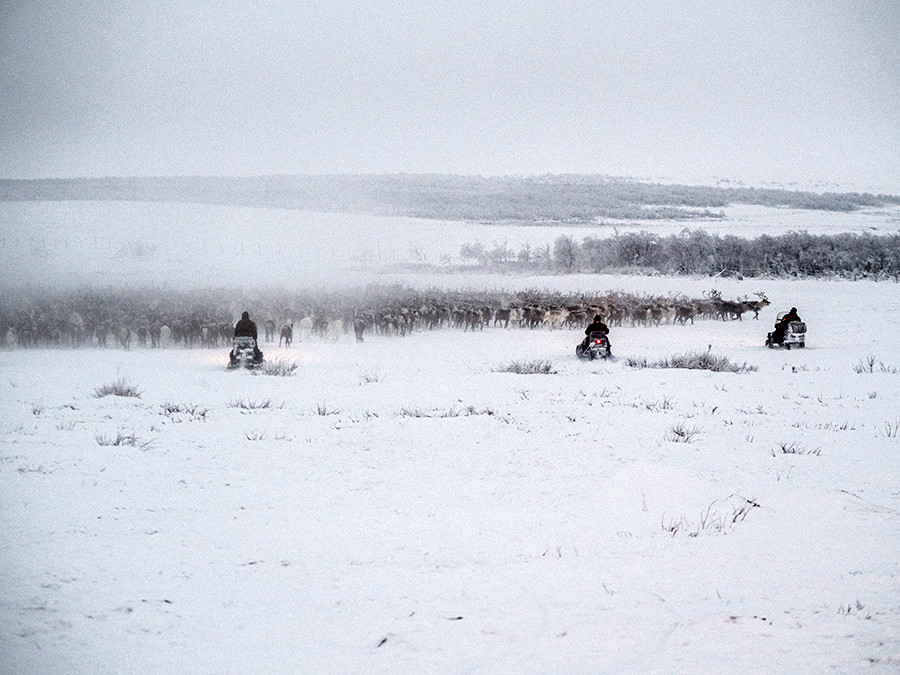A normal day of work: men are herding over a thousand reindeer from the tundra to the paddock
