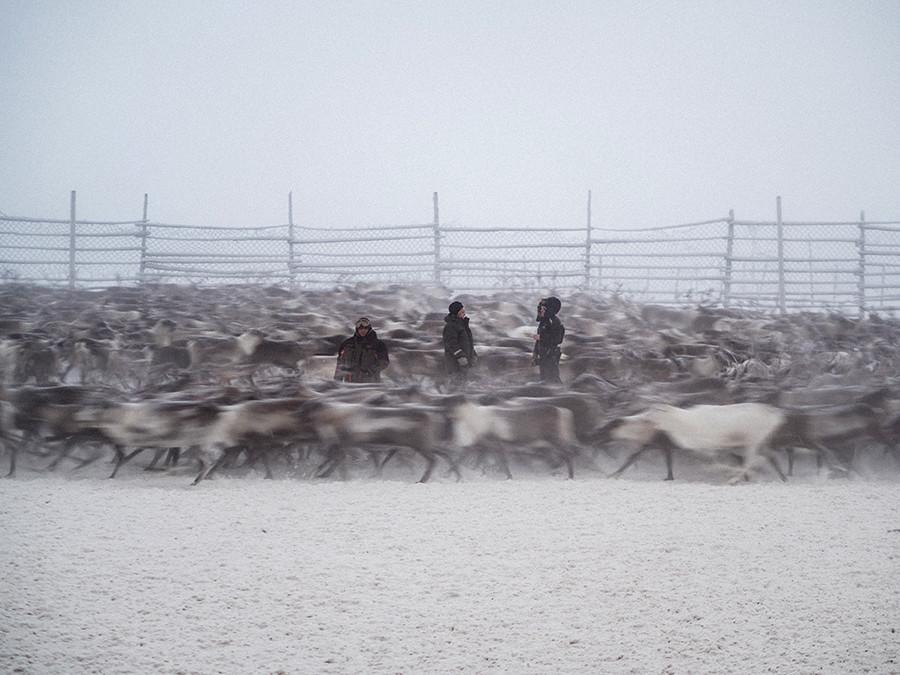 Renne dans l'enclos de Polmos, un élevage dans les environs de Lovozero.