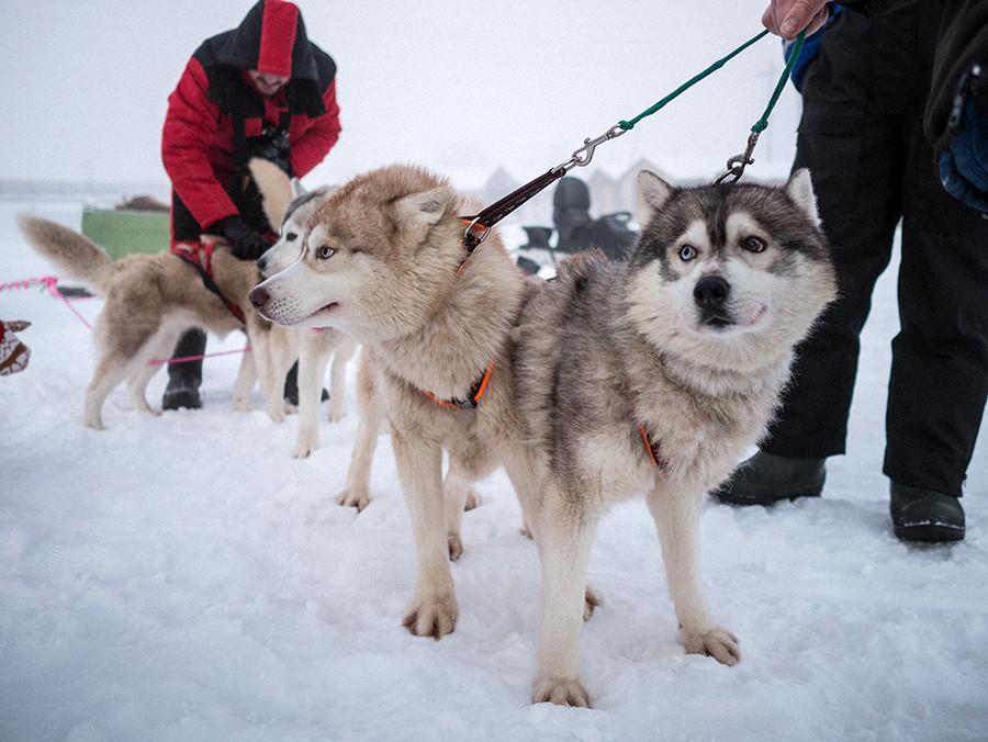 Svetlana porte ses huskies, sa fierté et le symbole de sa contribution à la communauté.