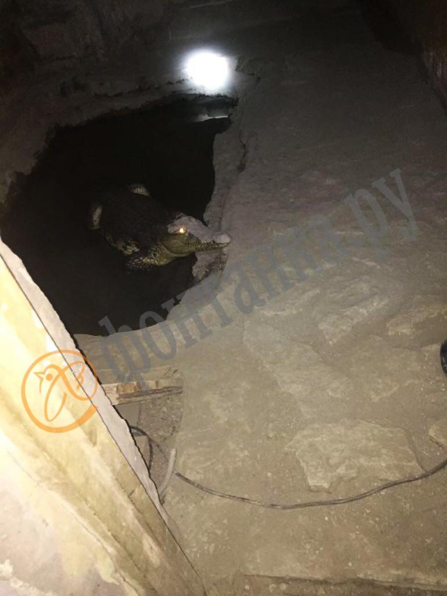 """Reptil itu tinggal di semacam """"kolam"""" yang tak nyaman di lantai ruang bawah tanah."""
