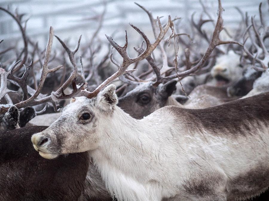 Un reno en el prado de Polmos, una base de pastoreo de renos en el área de Lovózero.