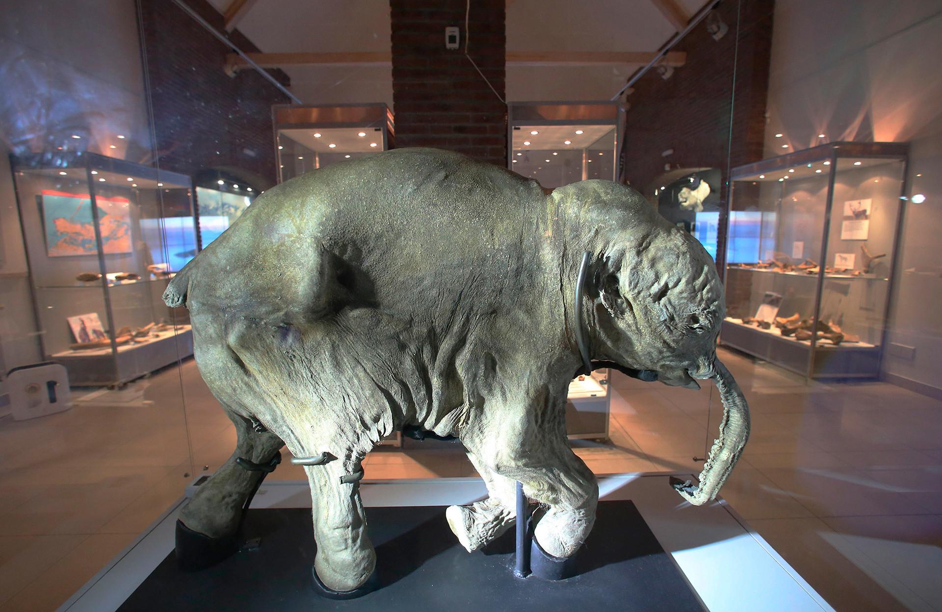 Cría fosilizada de mamut