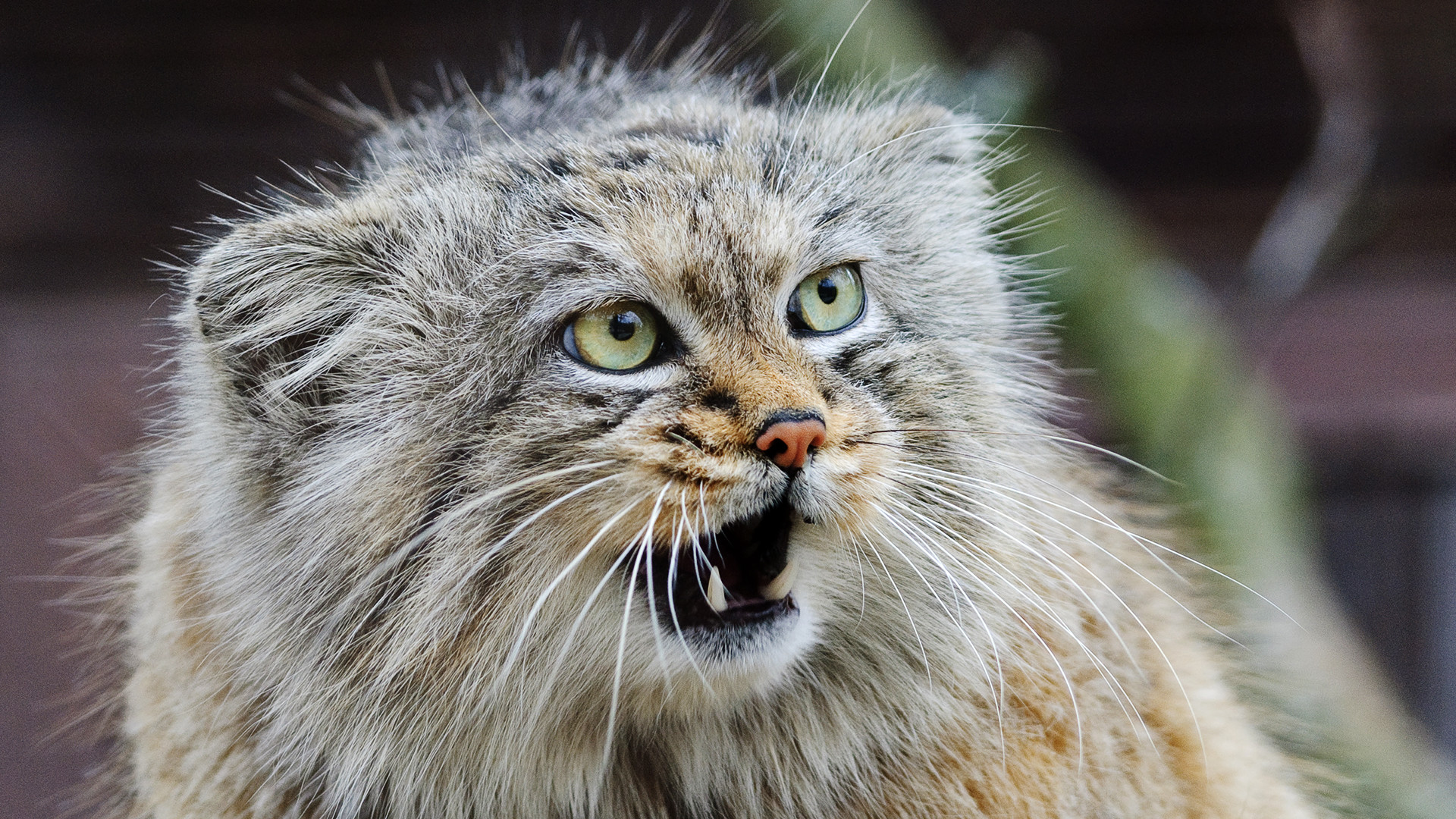 Would you pet a manul?