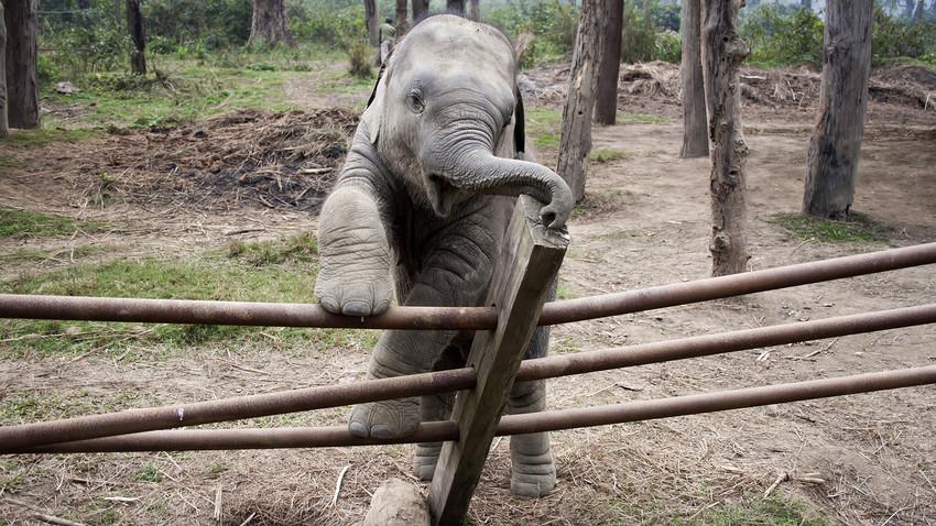 Di awal 1920-an, Mavrik Si Gajah kabur dari kebun binatang dan lari ke alam liar (dan merusak sebuah toko roti). Kami tak yakin apakah ia selucu gajah di foto ini, tapi konsepnya tetap sama.